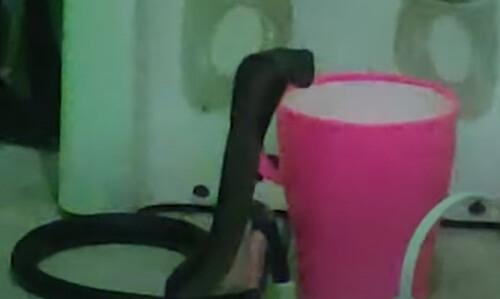 кобра с чашкой с водой
