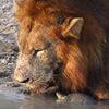 у пьющих львов появилась компания