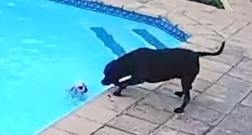 пёс не утонул в бассейне