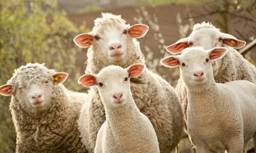 овцы выстроились в круг