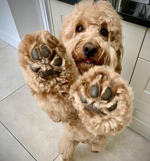 воспитанный пёс с чистыми лапками