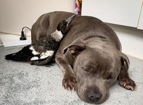 сорока подружилась с собакой