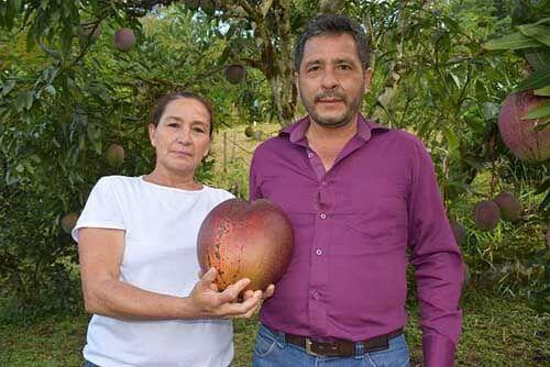 самый крупный плод манго