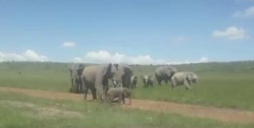 слонёнок бежит за машиной