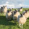 охотники перестреляли овец