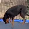 прыжки на батуте вместе с собакой