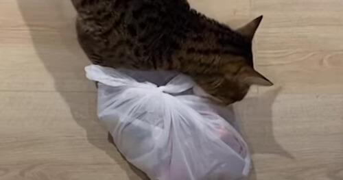 кот украл пакет рёбрышек