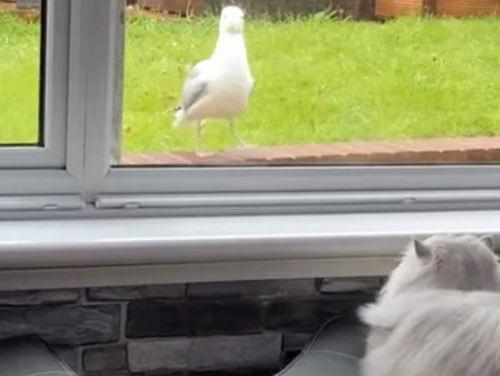 чайка прилетела к кошке