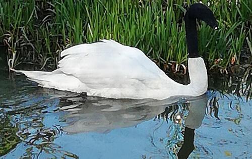 носок на голове лебедя