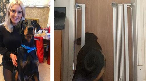 доберман научился открывать двери