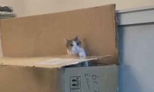любовь кошки к коробкам