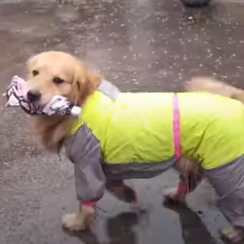 золотистый ретривер с зонтом