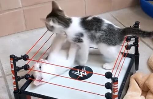 ринг для дерущихся котят