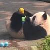 панду отвлекли игрушками