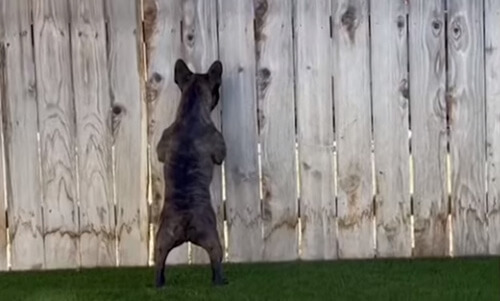 бульдог шпионит за соседями