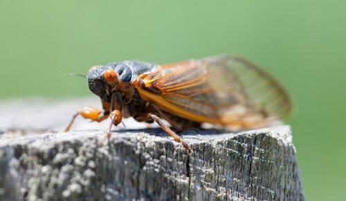 аллергикам нельзя есть цикад