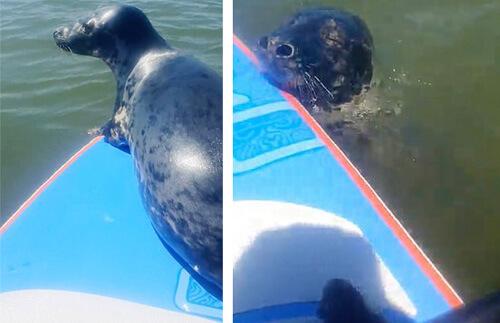 мужчина покатал тюленя на доске