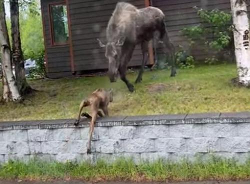 маленький лось покорил заборчик