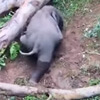берег стал проблемой для слонёнка