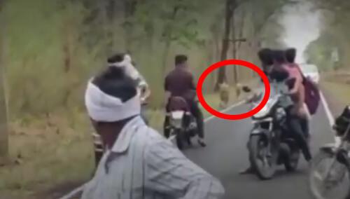 байкеры не боятся тигров