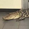 крупный аллигатор на почте