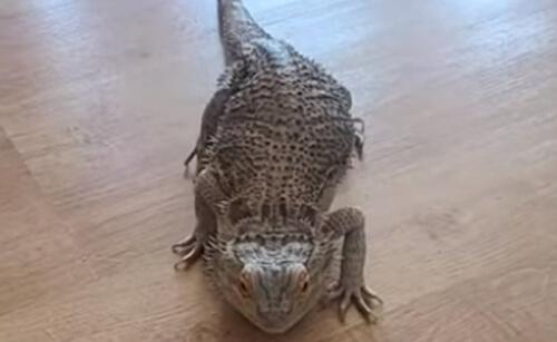бородатые драконы по-разному едят