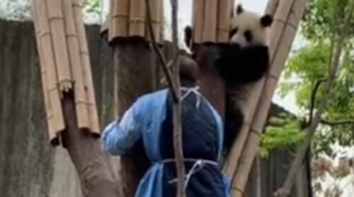 смотритель и панда на дереве
