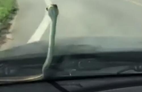 маленькая змейка на капоте машины
