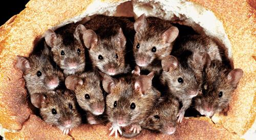 засилье мышей в тюрьме