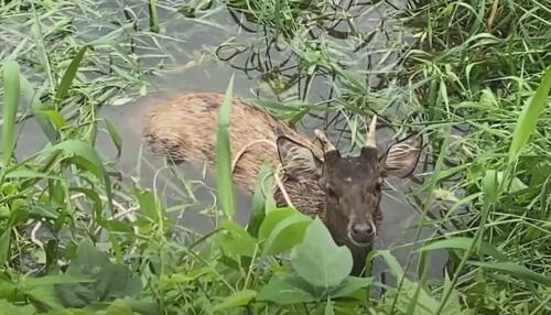 собаки загнали оленя в воду