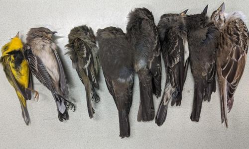 болезнь ослепляет и убивает птиц