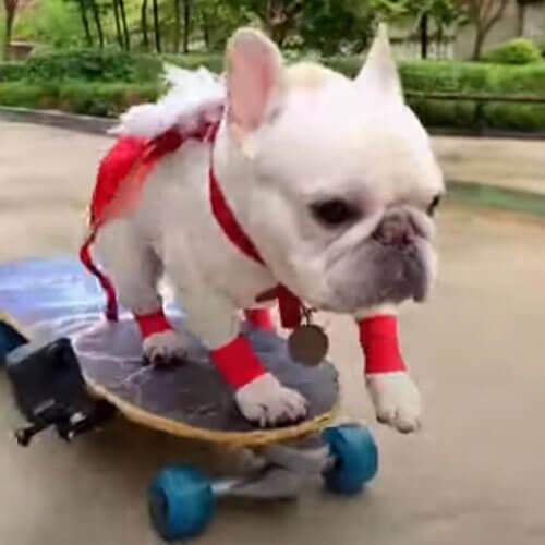 бульдог катается на скейтборде