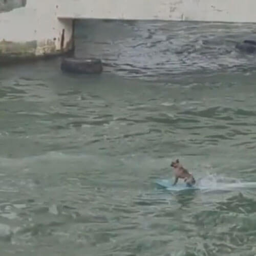 собака на водной доске