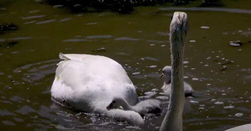 затруднительное положение лебедя