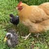пернатая защитница птенцов