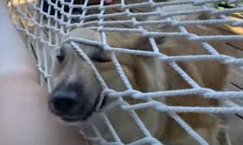 собака лезет в гамак