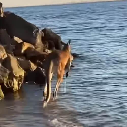 кенгуру освежился в водичке