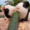обедающие морские свинки