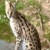 крупная экзотическая кошка