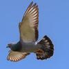 голуби не долетели до финиша