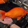 разросшиеся золотые рыбки