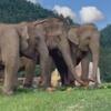 слониха и её слепая подруга