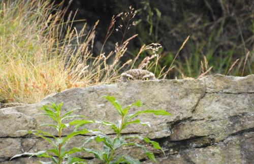 сова притаилась за камнем