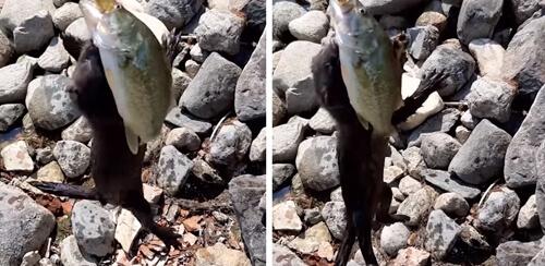 рыбак и норка не поделили рыбу