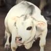 карликовая корова в бангладеше