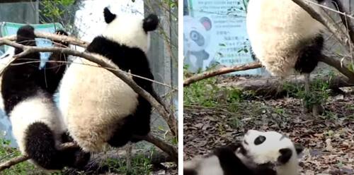 завистливая упавшая панда