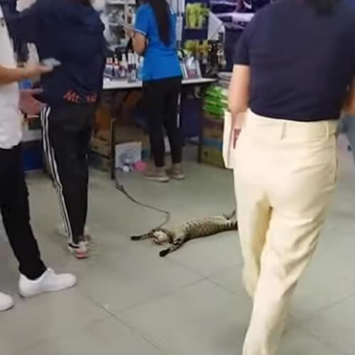 ленивый кот в зоомагазине