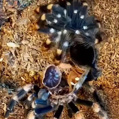 тарантул меняющий кожу