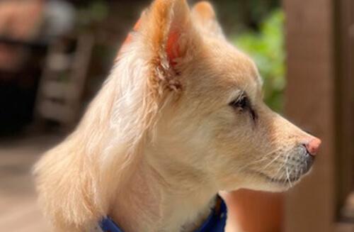 новая причудливая стрижка пса