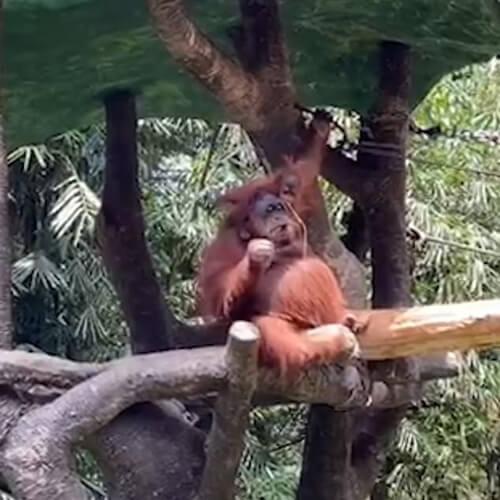 орангутанг в солнечных очках